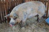 Alföldi Állattenyésztési Napok - 430 kg-os óriás malac